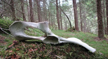 Animal Bone in Woods